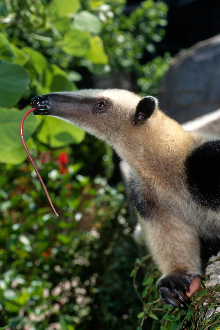 Diet of Southern Tamandua
