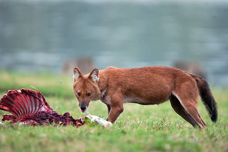 Diet of dhole