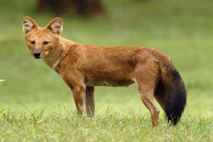Physical Description of Dhole