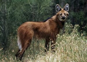 Physical Description of Maned Wolf