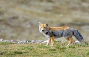 Physical Description of Tibetan Sand Fox
