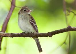 Physical description of Acadian Flycatcher