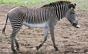 Physical description of Grevy's Zebra