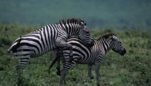 Reproduction of Grevy's Zebra
