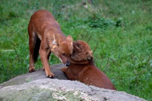 Reproduction of dhole
