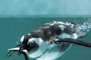 Diet of Gentoo penguin