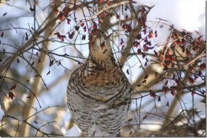 Diet of Ruffed Grouse