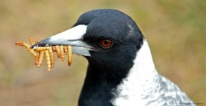 Diet of the Australian Magpie