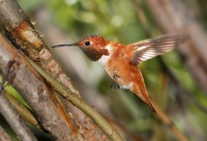 Habitat of Rufous hummingbird