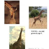 Life Cycle of Masai Giraffe