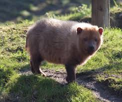 Physical Description of Bush Dog