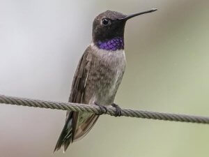 Physical description of Black-Chinned Hummingbird