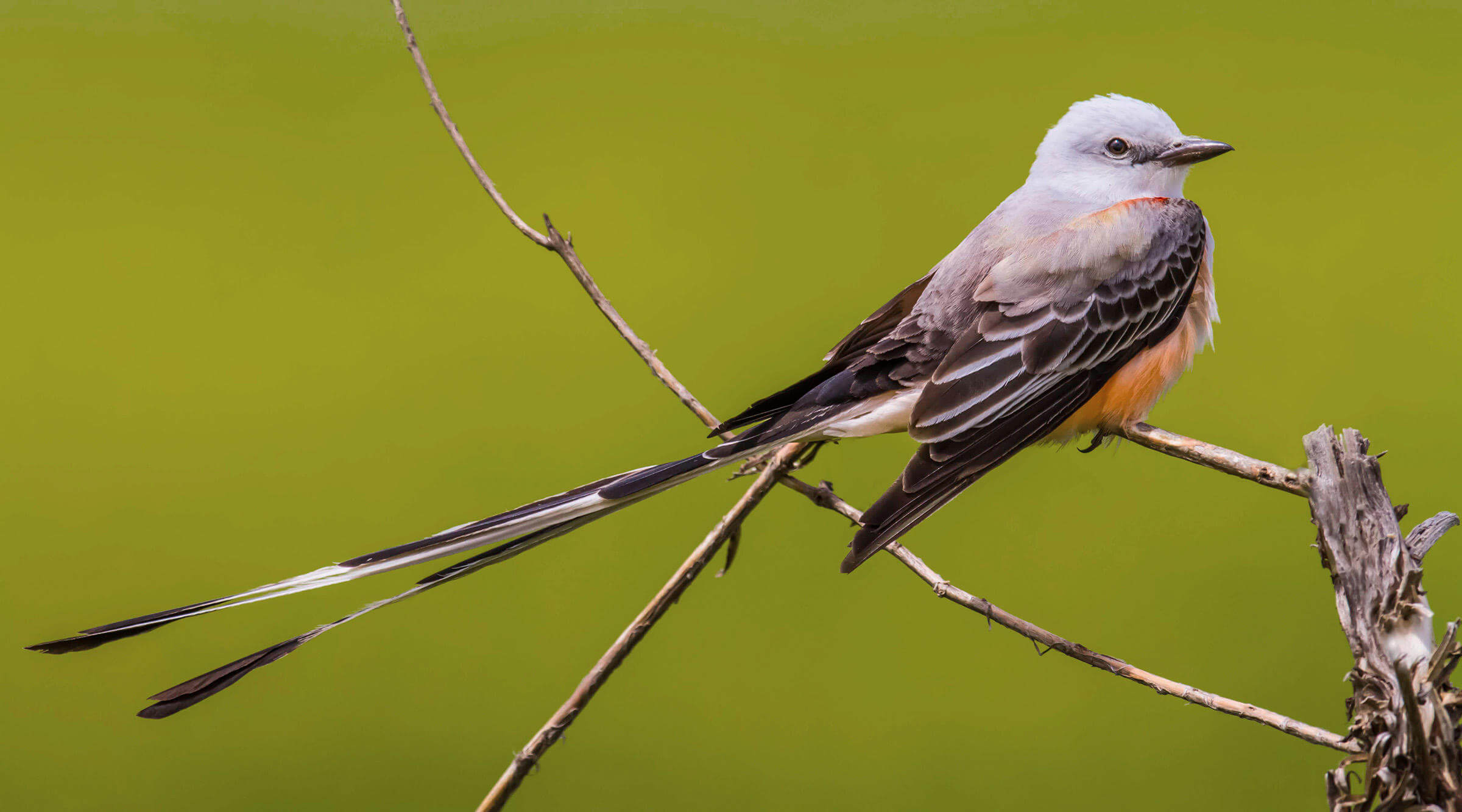 Physical description of Scissor-tailed flycatcher