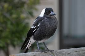 Physical description of the Australian Magpie