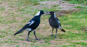 Reproduction of Australian Magpie