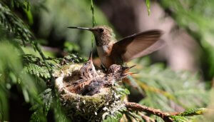 Reproduction of Bee hummingbird