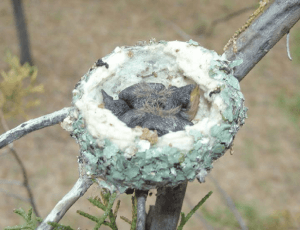 Reproduction of Black-Chinned Hummingbird