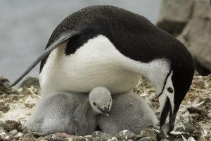 Reproduction of Chinstrap penguin