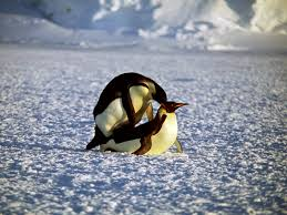 Reproduction of Gentoo penguin