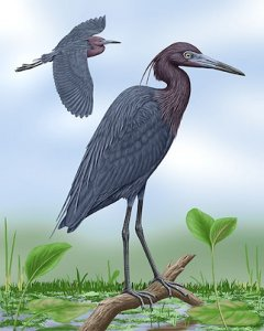 Reproduction of Little blue heron
