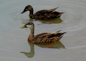 Reproduction of Mottled duck