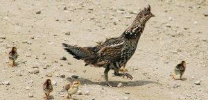 Reproduction of Ruffed Grouse