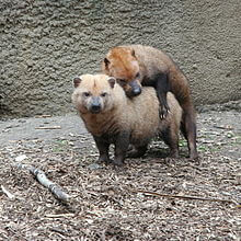 Reproduction of bush dog
