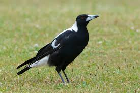 The habitat of the Australian Magpie