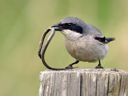 Diet of Loggerhead Shrike