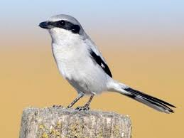 Physical description of the Loggerhead Shrike
