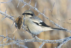 Reproduction of Loggerhead Shrike