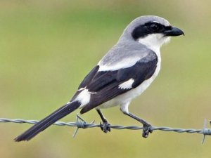 The habitat of the Loggerhead Shrike