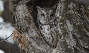Habitat of Eastern screech owl