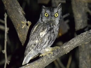 Physical description of Eastern screech owl