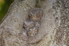 Reproduction of Eastern screech owl