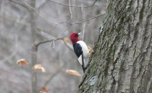 Habitat of Red-headed woodpecker