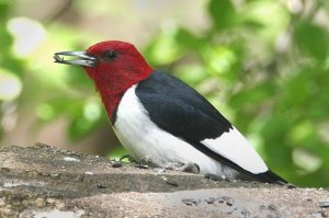 Red-headed woodpecker Diet