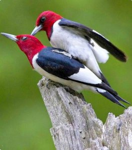 Red-headed woodpecker Reproduction