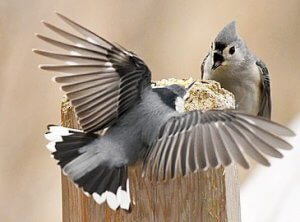 Diet of Tufted titmouse