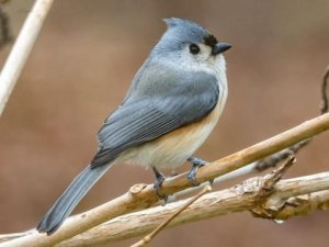Habitat of Tufted titmouse