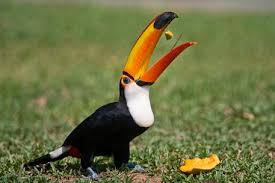 Diet of Toco toucan