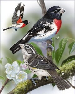 Reproduction of Rose-breasted grosbeak